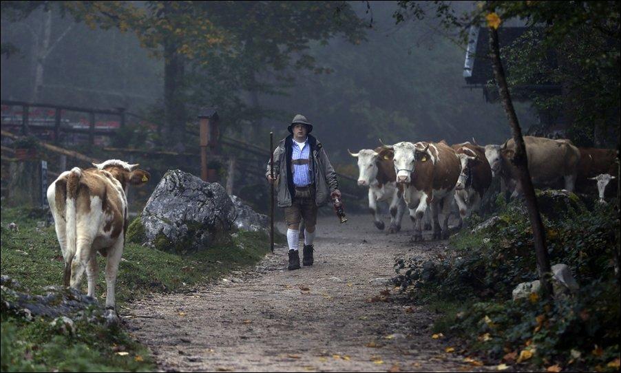 Коровы на пароме