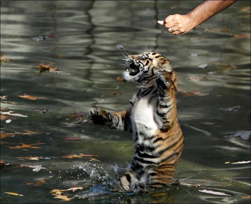 Как разозлить тигра