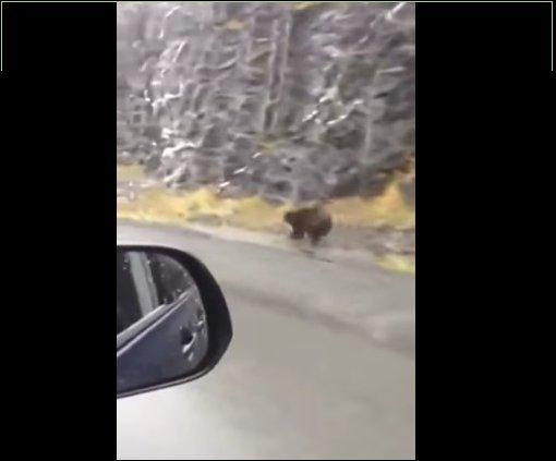 Медведь наперегонки с машиной