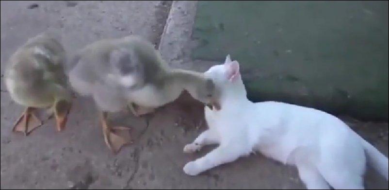 Кот и надоедливый гусь