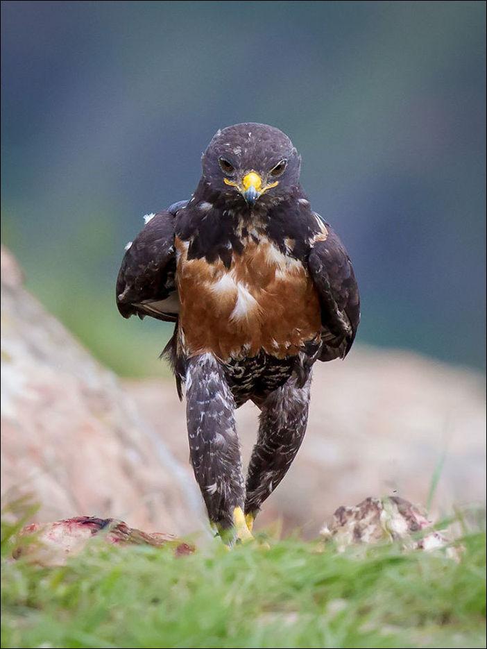 крутой птах