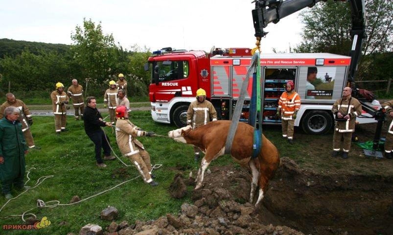 bullock-rescue-05