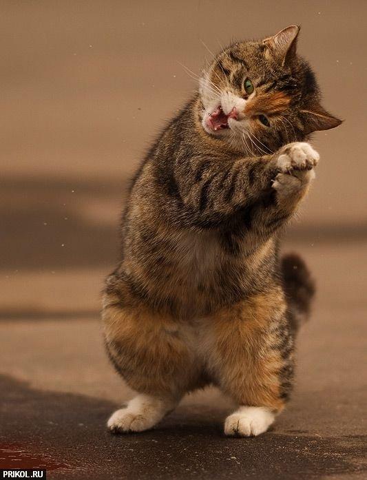 funny-cat-06