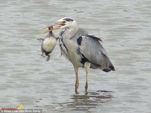 heron-eating-bird-01