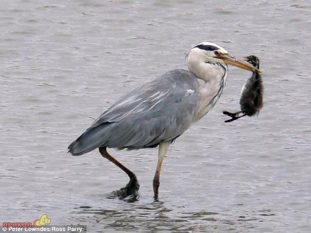 heron-eating-bird-02