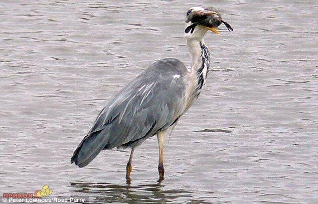 heron-eating-bird-03