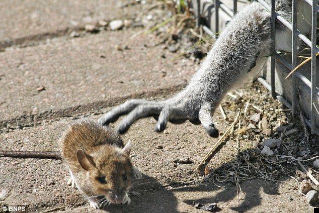 lemur-mouse-01