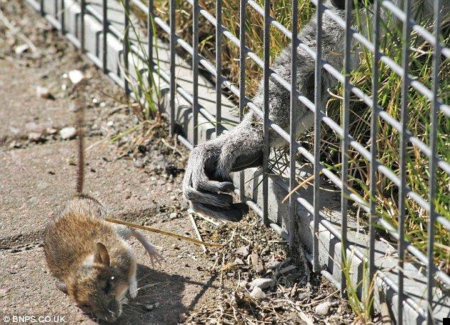 lemur-mouse-02