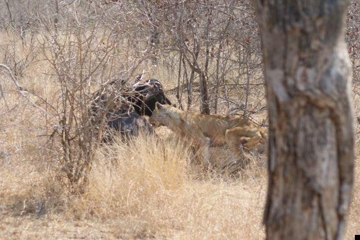 lion-hunt-05