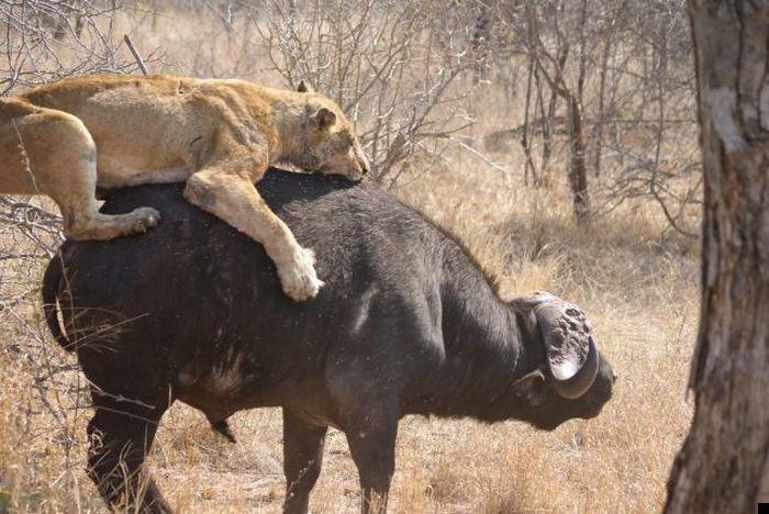 lion-hunt-08
