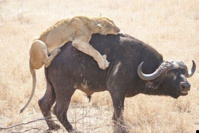 lion-hunt-10