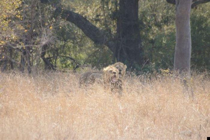 lion-hunt-12
