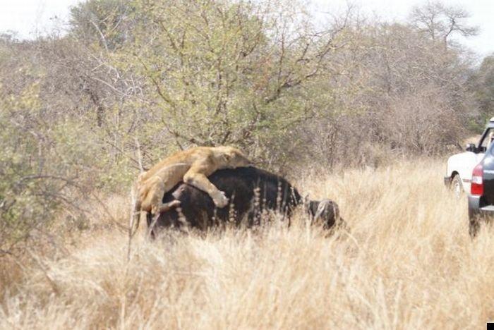lion-hunt-13