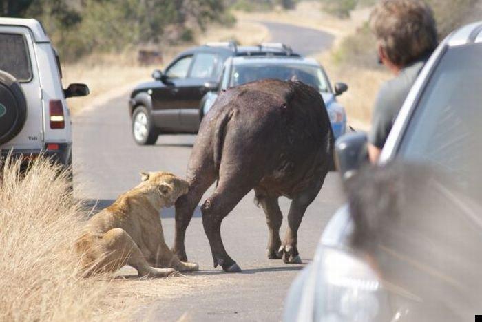 lion-hunt-15
