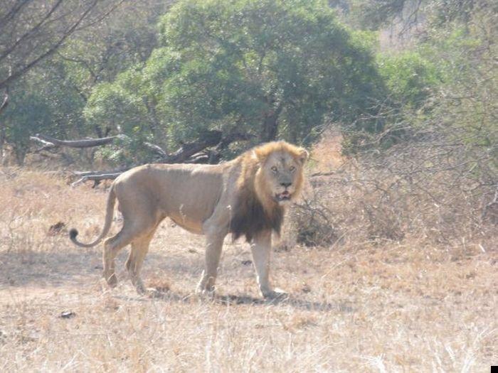 lion-hunt-18