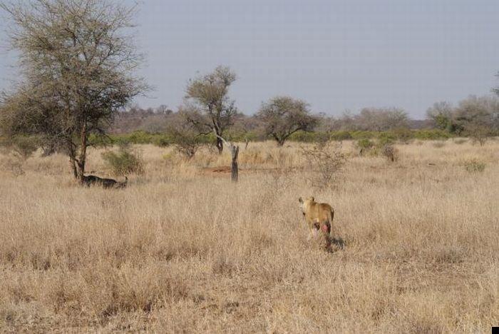 lion-hunt-19