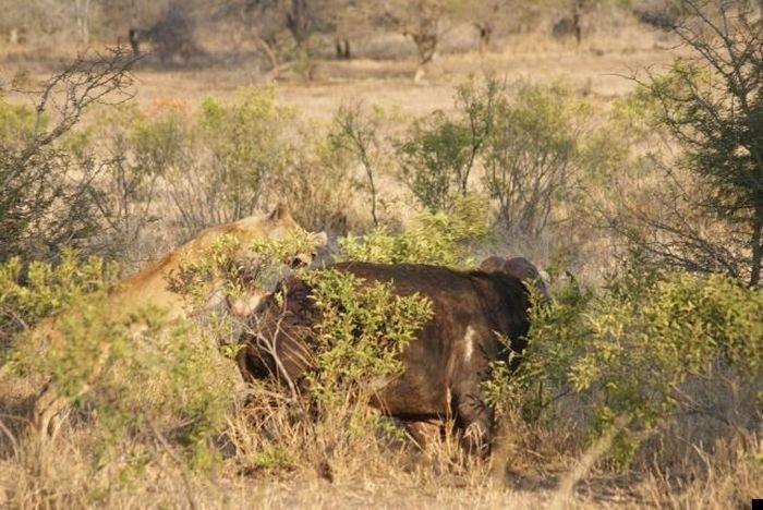 lion-hunt-22