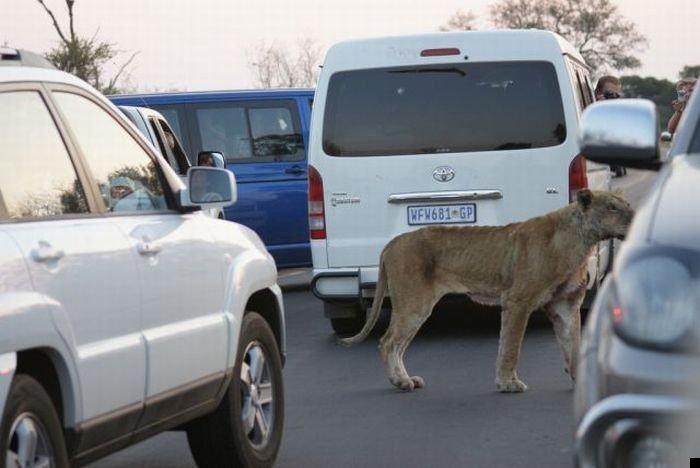 lion-hunt-24