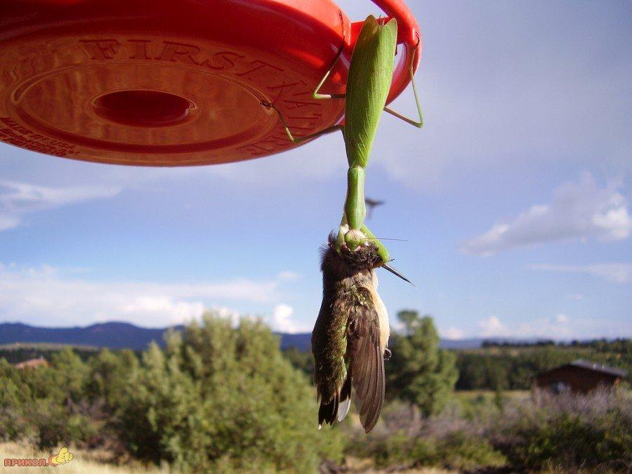 mantis-catches-bird-04