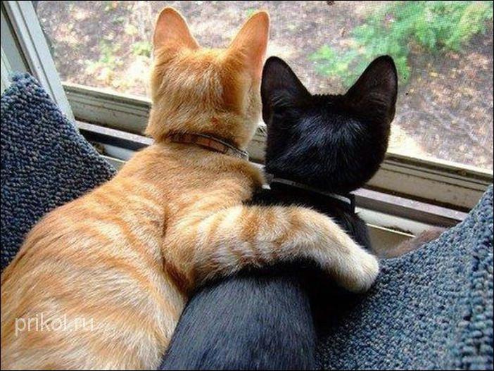 Коты занимаются секс