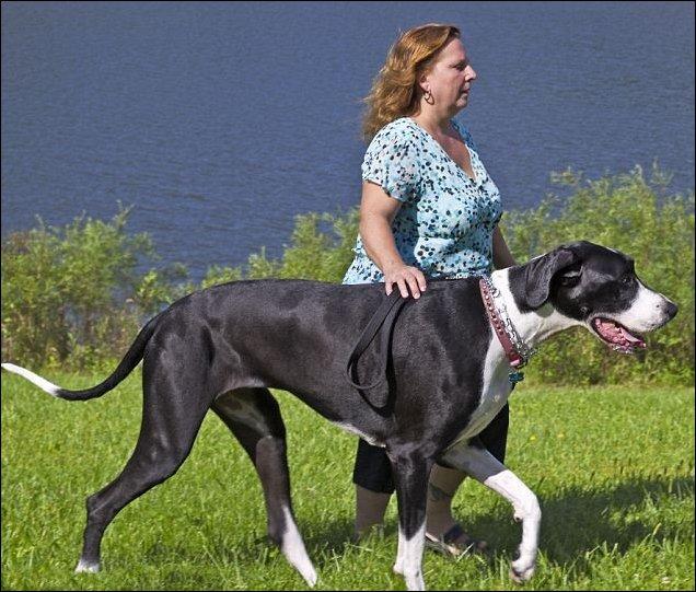 Самая высокая собака в мире - дог по кличке Нова