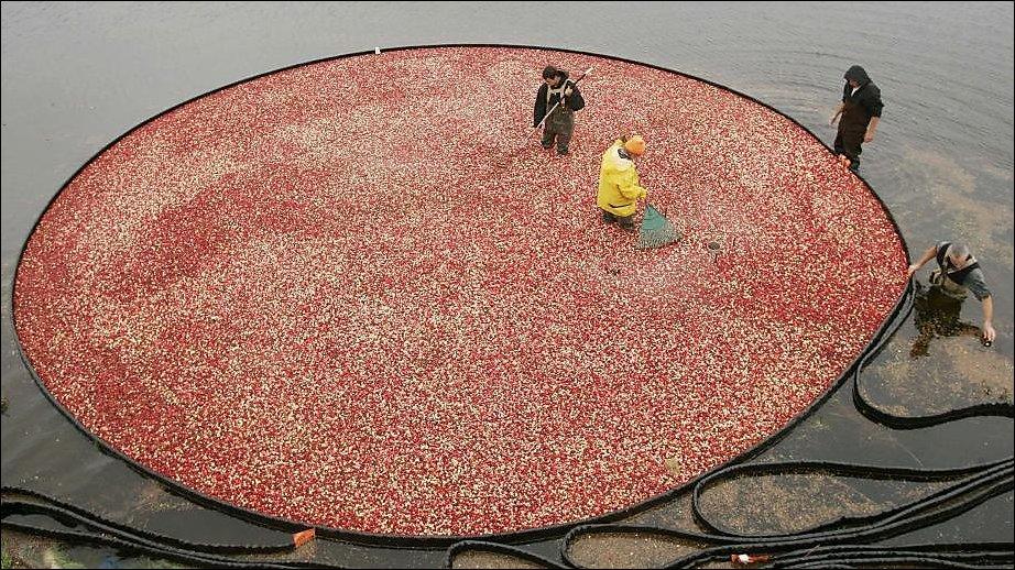 Сбор урожая клюквы
