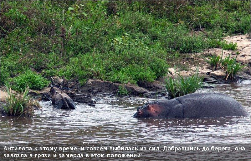 Бегемот, антилопа и крокодил