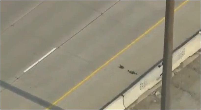 Утки переходят хайвей в Торонто