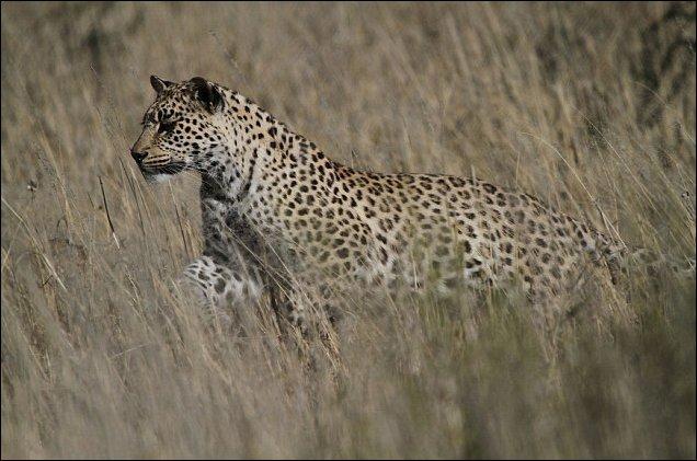 Леопард ловит рябков