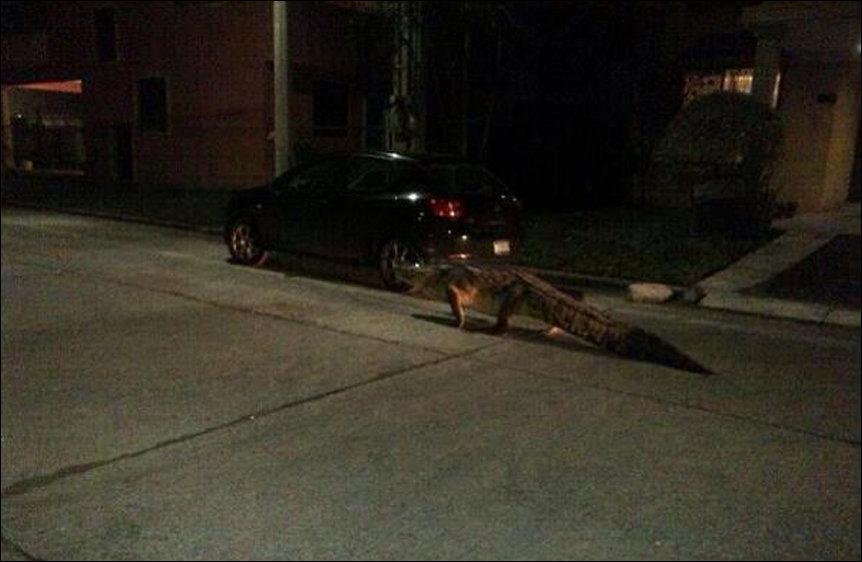 Аллигатор на улицах города