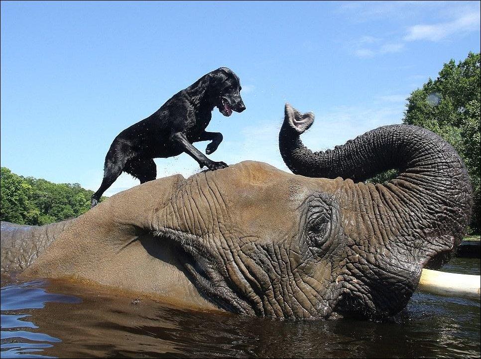 Слоненок и лабрадор