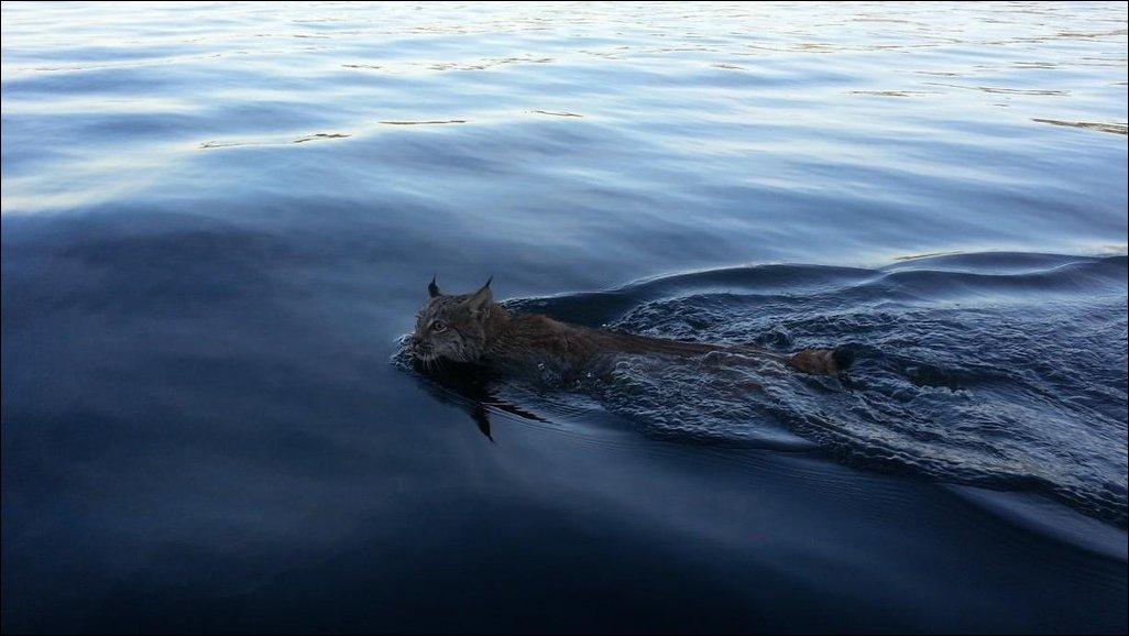 Плавающая рысь