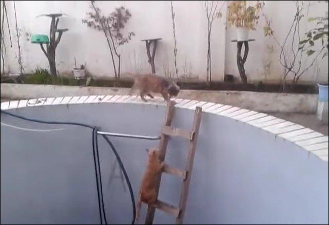 Кошка сбросила кота в бассейн