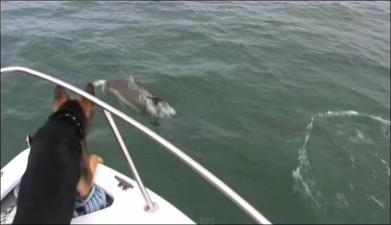 Овчарка спрыгнула с катера за дельфинами