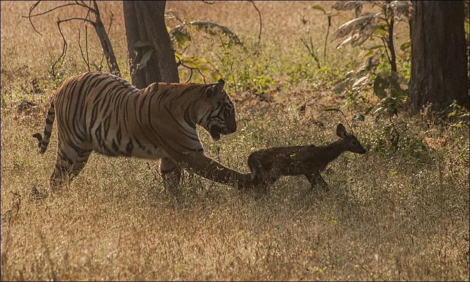 Тигр и олененок