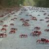 Фото 7, Миграция красного краба (7 фото + текст + видео) - Video.