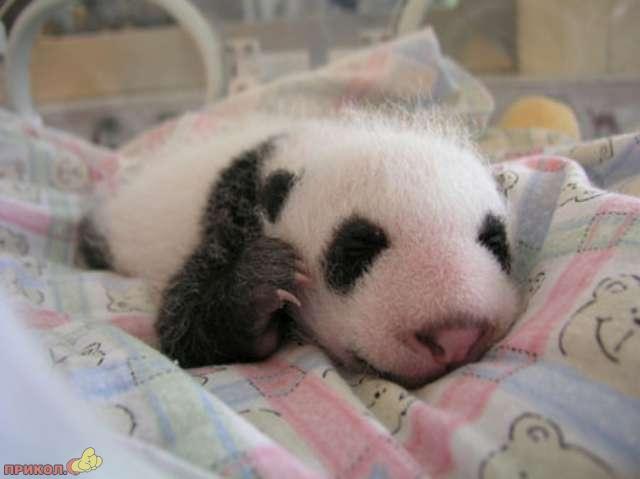 panda_11.jpg