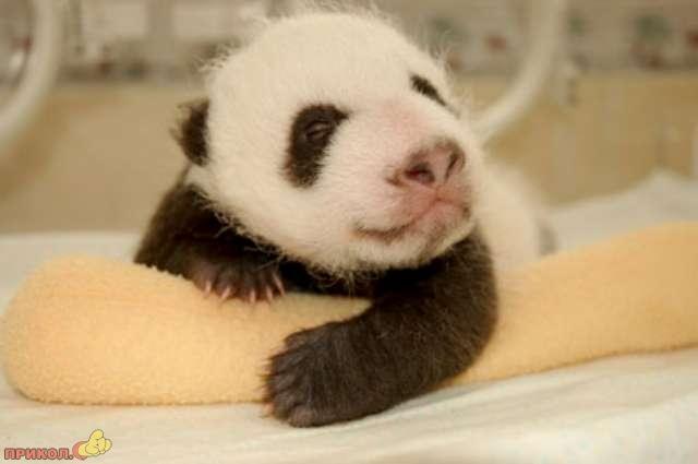 panda_14.jpg