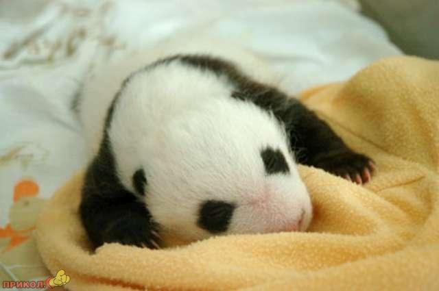 panda_15.jpg