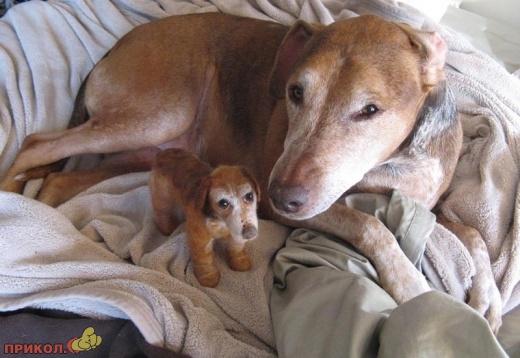 Собаки и их игрушечные копии (14 фото)