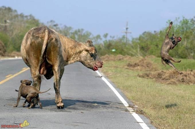 bull-kills-dogs-01.jpg