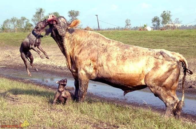 bull-kills-dogs-02.jpg