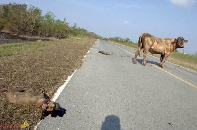 bull-kills-dogs-03.jpg