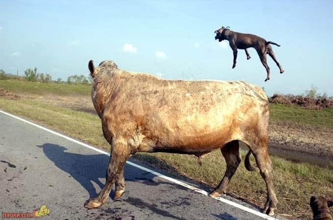 bull-kills-dogs-04.jpg