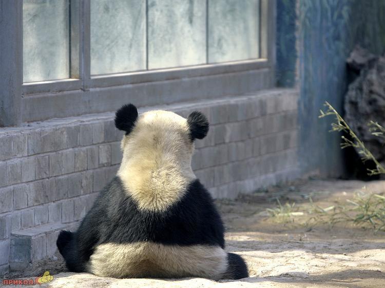 panda-goes-home-01