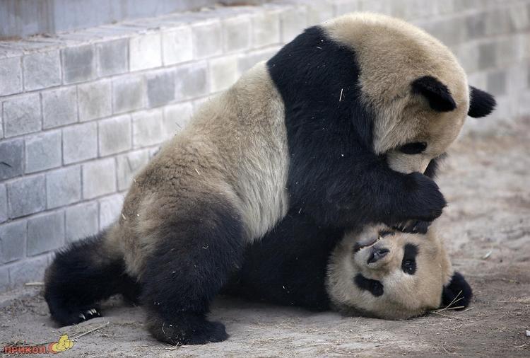 panda-goes-home-02