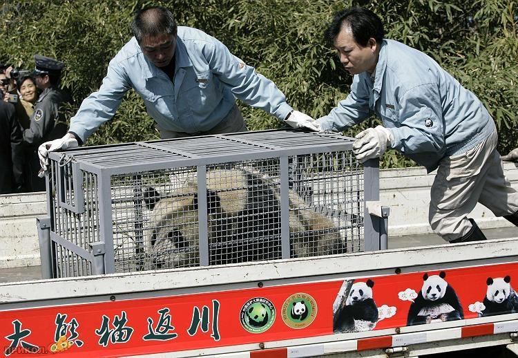 panda-goes-home-05