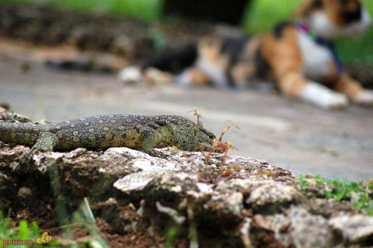 cat-vs-lizard-01