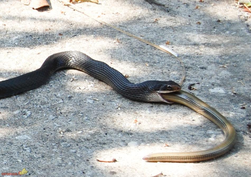 snake-eating-snake-02