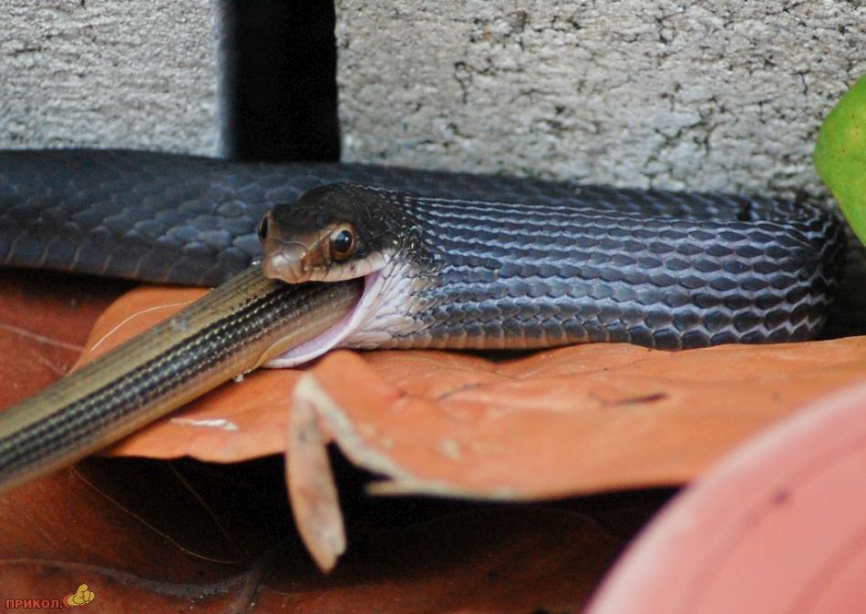 snake-eating-snake-04